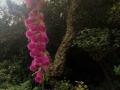 Fingerhut in voller Blüte