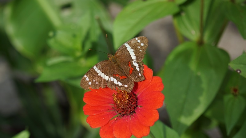 09Schmetterling