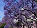 Blühende Jacarandabäume